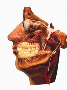 Cutaway Model of Face by Victor De Schwanberg