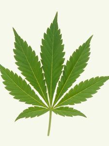 Leaf of Marijuana Plant, Cannabis Sativa by Victor De Schwanberg