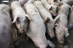 Pigs by Victor De Schwanberg