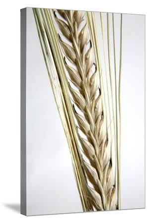 Wheat Ear (Triticum Sp.)