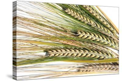 Wheat Ears (Triticum Sp.)