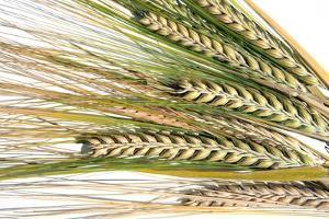 Wheat Ears (Triticum Sp.) by Victor De Schwanberg