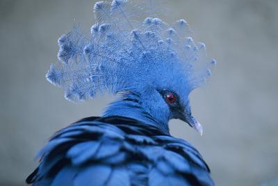 Victoria Crowned Pigeon-David Aubrey-Photographic Print