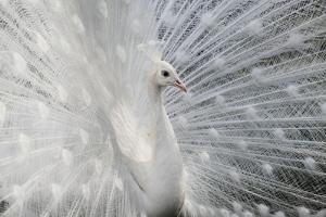 As White as Snow by Victoria Ivanova