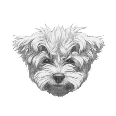 Original Drawing of Maltese Poodle. Isolated on White Background. by victoria_novak
