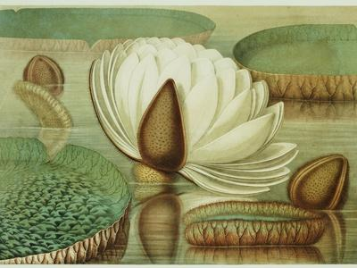 https://imgc.artprintimages.com/img/print/victoria-regia-or-the-great-water-lily-of-america-opening-flower-1854-publishers_u-l-p1yvqg0.jpg?p=0