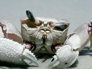 Crab, Shows Independent Eye Movement by Victoria Stone & Mark Deeble