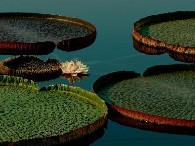 Victoria Water Lilies-James P^ Blair-Photographic Print