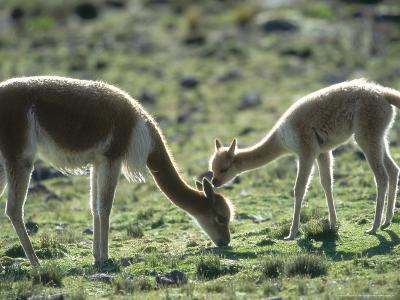 Vicuna, Mother with 3 Week Old Baby, Peruvian Andes-Mark Jones-Photographic Print