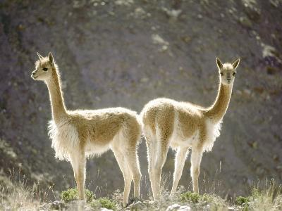 Vicuna, Wild High Andes Cameloid, Peru-Mark Jones-Photographic Print