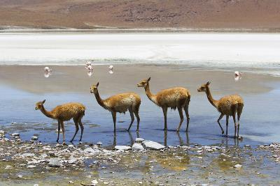 Vicunas Standing in a Row at a Lagoon-Mike Theiss-Photographic Print
