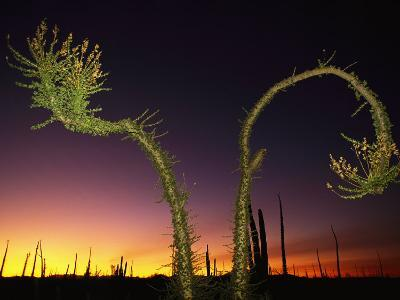 View at Twilight of a Boojum Tree in Baja-Bill Hatcher-Photographic Print
