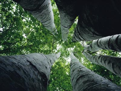 View Looking up the Trunk of a Sycamore Tree-Paul Zahl-Photographic Print