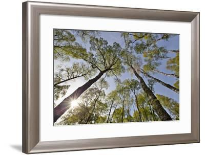 View Looking Up to Silver Birch (Betula Pendula) Canopy in Spring, Craigellachie, Cairngorms Np, UK-Mark Hamblin-Framed Photographic Print