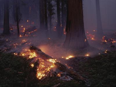 View of a Controlled Fire in a Stand of Giant Sequoia Trees-Raymond Gehman-Photographic Print