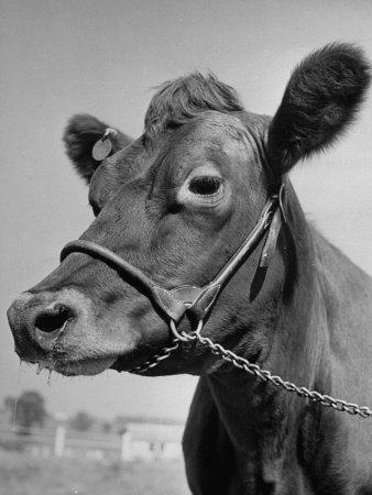 https://imgc.artprintimages.com/img/print/view-of-a-cow-on-a-farm_u-l-p6937s0.jpg?p=0