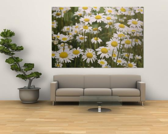 View of a Field of Daisies-Paul Zahl-Wall Mural