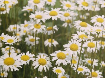 View of a Field of Daisies-Paul Zahl-Photographic Print