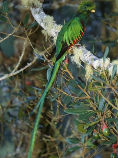 View of a Male Resplendent Quetzal (Pharomachrus Mocinno Costricensis)-Roy Toft-Photographic Print