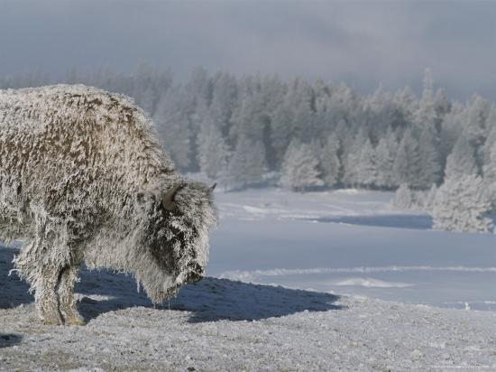 View of an Ice-Encrusted American Bison-Tom Murphy-Photographic Print