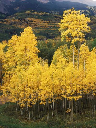 View of Autumn Aspen Grove on Mountain, Telluride, Colorado, USA-Stuart Westmorland-Photographic Print