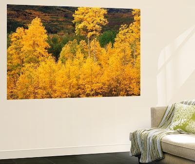 View of Autumn Aspen Grove on Mountain, Telluride, Colorado, USA-Stuart Westmorland-Giant Art Print