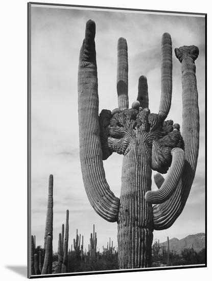 "View Of Cactus And Surrounding Area ""Saguaros Saguaro National Monument"" Arizona 1933-1942-Ansel Adams-Mounted Art Print"