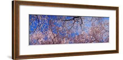 View of Cherry Blossom Trees, Washington State, USA