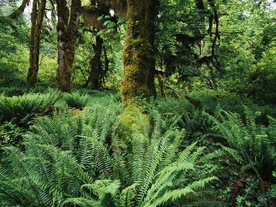 View of Clubmoss, Hoh Rainforest, Olympic National Park, Washington State, USA-Stuart Westmorland-Photographic Print