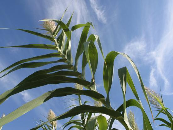 View of Corn Stalk and Blue Sky--Photographic Print