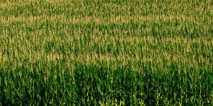 View of cornfield, Cowansville, Quebec, Canada
