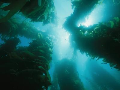 View of Giant Kelp Forest with Surface Sunlight-Tim Laman-Photographic Print