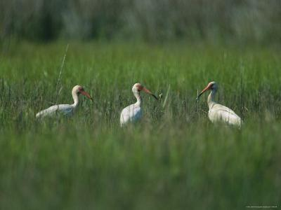 View of Ibises-Stephen Alvarez-Photographic Print