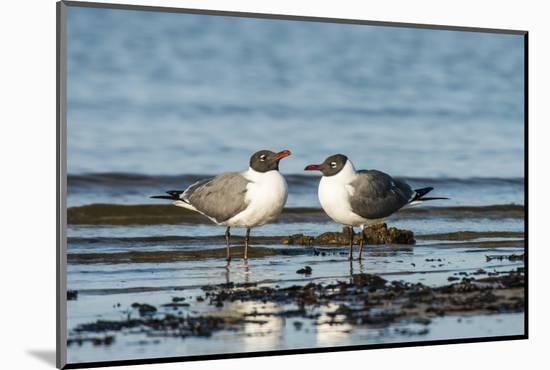 View of Laughing Gull Standing in Water-Gary Carter-Mounted Premium Photographic Print