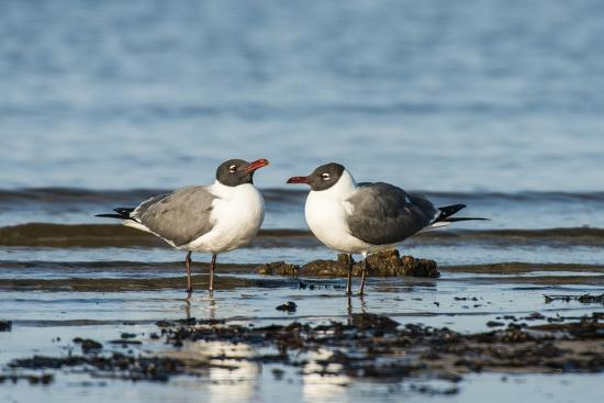 View of Laughing Gull Standing in Water-Gary Carter-Photographic Print