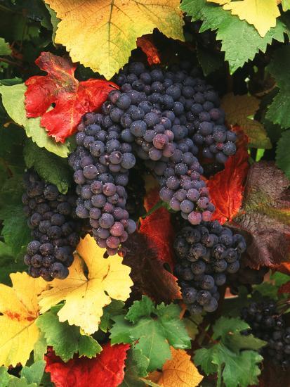 View of Pinot Noir Grape, Willamette Valley, Oregon, USA-Stuart Westmorland-Photographic Print