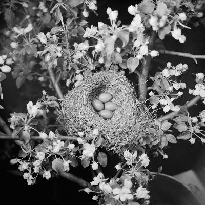 View of Robins Nest with Four Eggs-Bettmann-Photographic Print
