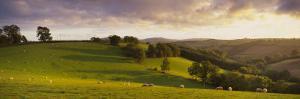 View of Sheep Grazing in a Field, Bickleigh, Mid Devon, Devon, England
