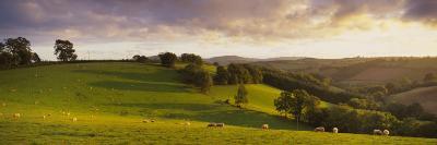 View of Sheep Grazing in a Field, Bickleigh, Mid Devon, Devon, England--Photographic Print