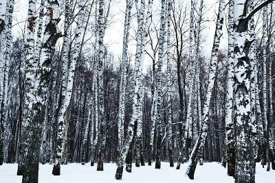 View of Snowy Birch Forest in Winter- vvoe-Photographic Print