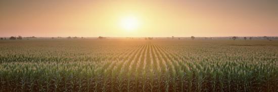 View of the Corn Field During Sunrise, Sacramento County, California, USA--Photographic Print