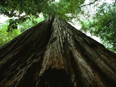 View of the Trunk of the Tallest Tree in the World-James P^ Blair-Photographic Print