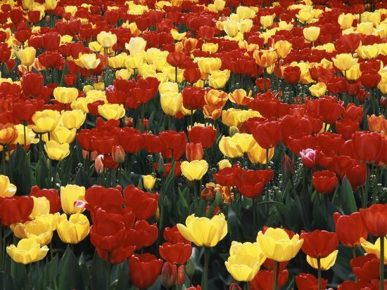 View of Tulip Flowers at Mt. Vernon, Washington State, USA-Stuart Westmorland-Photographic Print