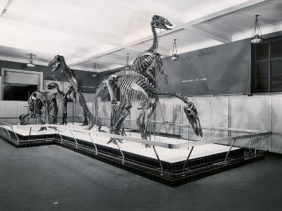 View of Tyrannosaur Skeletons in Museum--Photographic Print