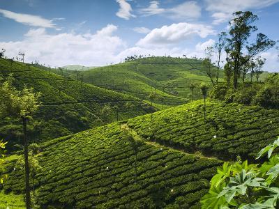 View over Tea Plantations, Near Munnar, Kerala, India, Asia-Stuart Black-Photographic Print