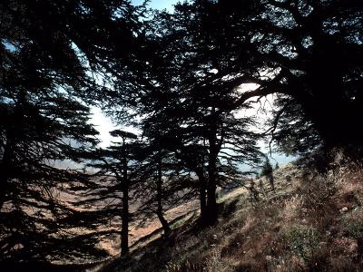 View Through the Branches of Lebanon's Famous Cedar Trees-Ira Block-Photographic Print