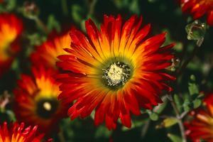 Vigie Flower, Namaqualand, West Coast, South Africa (photo)