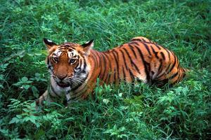 Tiger Cub by Vijayamurthy S