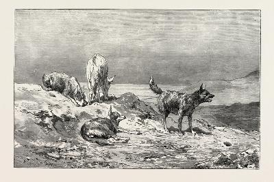 Village Dogs. Egypt, 1879--Giclee Print