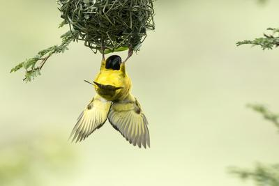 https://imgc.artprintimages.com/img/print/village-weaver-ploceus-cucullatus-male-bird-building-nest-masai-mara-game-reserve-kenya_u-l-q1gf7n60.jpg?p=0